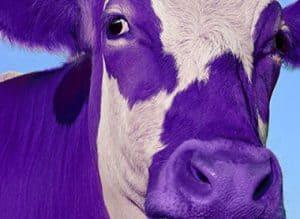 purple cow in field