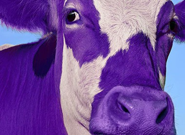 purple cow in field