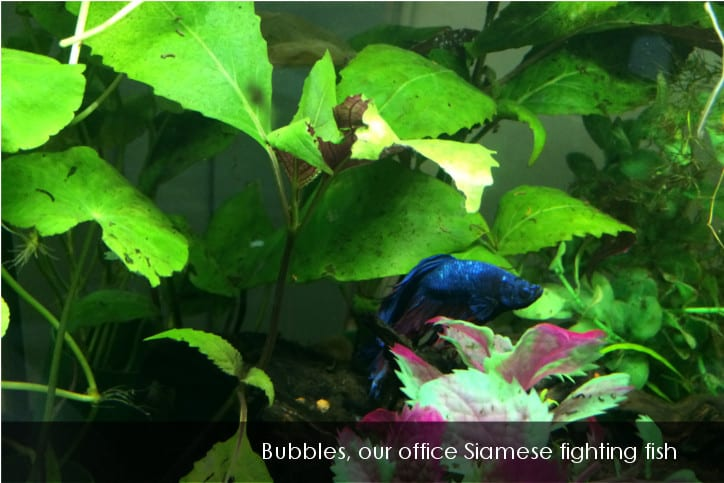 Bubbles office fighting fish